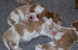 Merlin's puppies 2 weeks old - Selkies Cavalier King Charles Spaniels